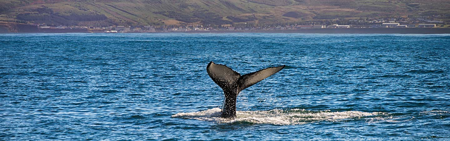 Whale watching - Backroads Northern Iceland Family Multi-Adventure Tour