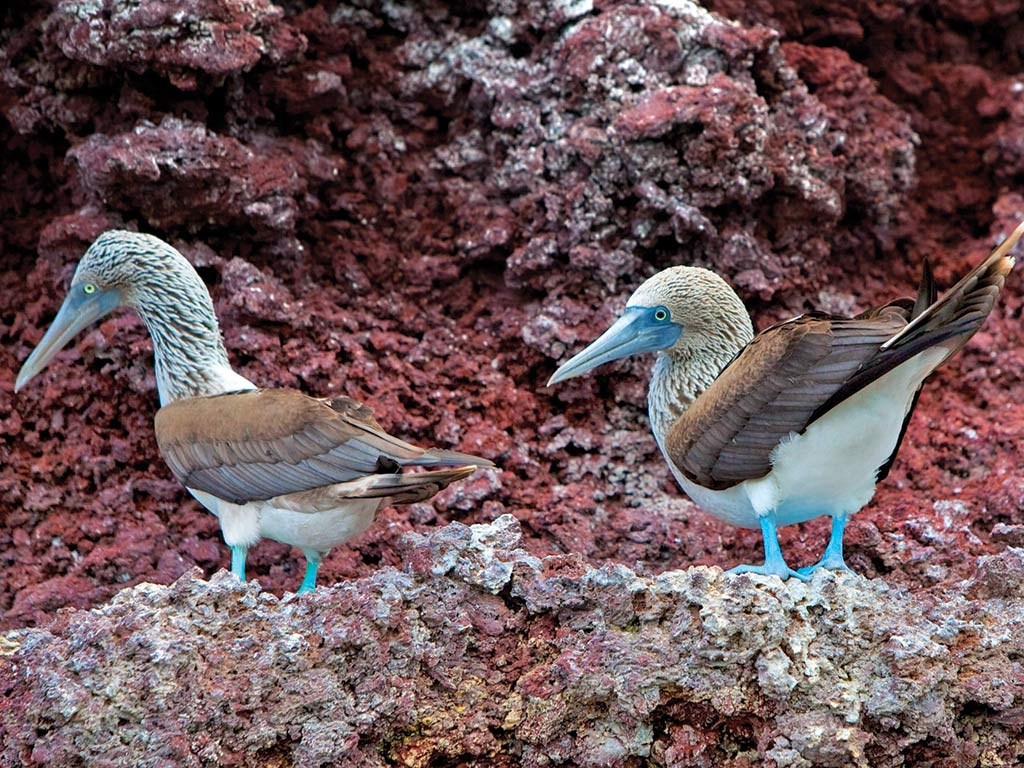 Blue footed boobies - Galapagos Ocean Cruise Multi-Adventure Tour