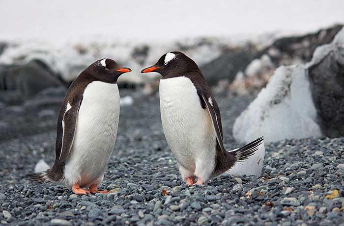 Gentoo Penguins - Antarctica Ocean Cruise Multi-Adventure Tour